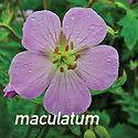 Geranium maculatum - Cranesbill