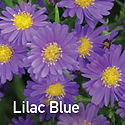 Aster Lilac Blue