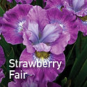 Siberian Iris Strawberry Fair
