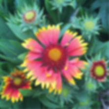 Gaillardia Goblin - Blanketflower.jpg