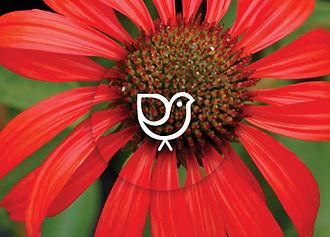 Perennials for songbirds - Echinacea