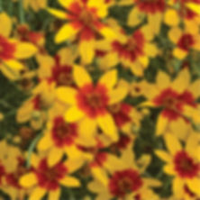 Coreopsis v. Curry Up - Tickseed.jpg