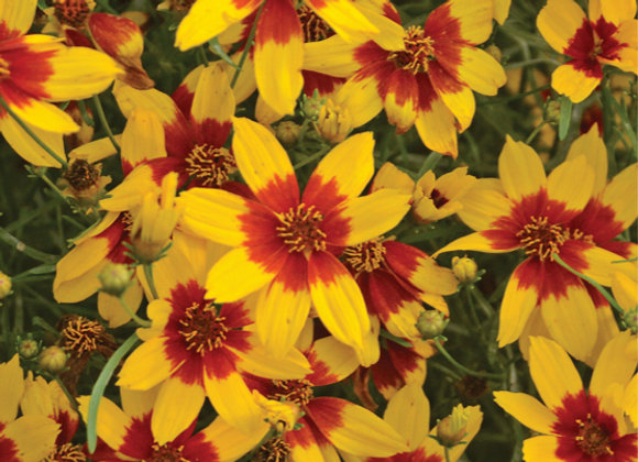 Coreopsis v. 'Curry Up'
