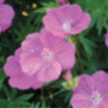 Geranium s. Alpenglow - Cranesbill.jpg