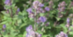Nepeta Purrsian Blue - Catmint