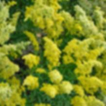 Solidago Little Lemon - Goldenrod.