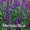 Salvia Merleau Blue.jpeg