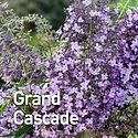 Buddleia Grand Cascade - Butterfly Bush.