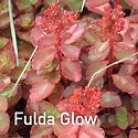 Sedum Fulda Glow - Stonecrop.