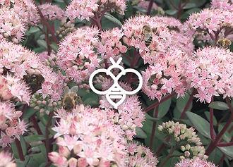 Perennials for bees - Sedum