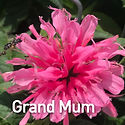 Monarda Grand Mum - Bee Balm.jpeg
