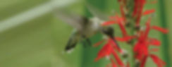 Perennials for Hummingbirds