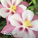 Aquilegia Songbird Robin - Columbine