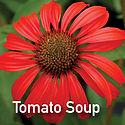 Echinacea Tomato Soup - Coneflower