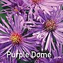 Aster Purple Dome - Michaelmas Daisy