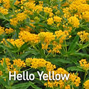 Asclepias t. Hello Yellow - Butterfly We
