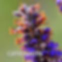 Amorpha canescens - Leadplant