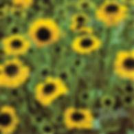 Helenium b. Tip Top - Sneezeweed.jpg