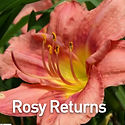 Hemerocallis Rosy Returns - Daylily.jpeg