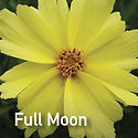Coreopsis Full Moon - Tickseed