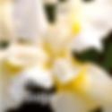 Siberian Iris Butter & Sugar