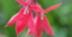 Lobelia cardinalis  - Cardinal Flower.jp