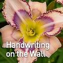 Hemerocallis Handwriting on the Wall - D