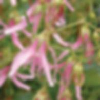 Campanula Pink Octopus - Bellflower