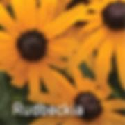 Rudbeckia Little Goldstar - Black-Eyed Susan