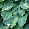 Hosta June.jpeg