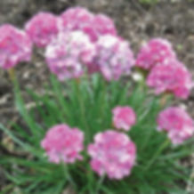 Armeria m. Splendens - Sea Thrift.jpg