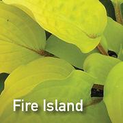 Hosta Fire Island
