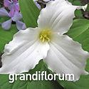 Trillium grandiflorum - Wake Robin.jpeg