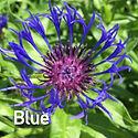 Centaurea m. Blue - Mountain Bluet.jpeg