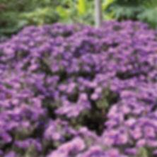 Aster Purple Dome - Michaelmas Daisy.jpg