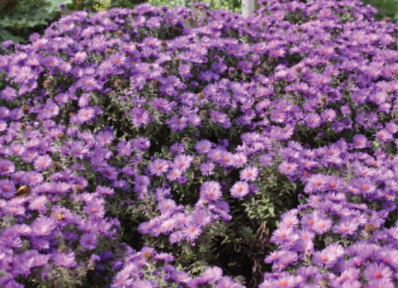 Aster n. 'Purple Dome'