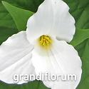 Trillium grandiflorum - Wake Robin