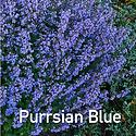 Nepeta Purrsian Blue - Cat Mint CU.png
