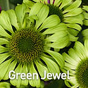 Echinacea p. Green Jewel - Coneflower.jp