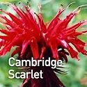 Monarda Cambridge Scarlet - Bee Balm.jpe