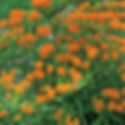 Asclepias tuberosa - Butterfly Weed.