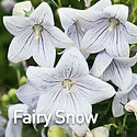 Platycodon g. Fairy Snow - Balloon Flowe