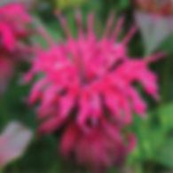 Monarda p. Panorama Pink - Bee Balm.jpg