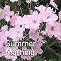 Delphinium g. Summer Morning - Larkspur.
