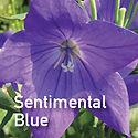 Platycodon Sentimental Blue - Balloon Flower