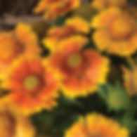 Gaillardia Arizona Apricot - Blanketflow