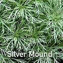 Artemisia Silver Mouind