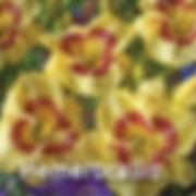 Hemerocallis Monterrey Jack - Daylily