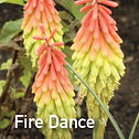 Kniphofia Fire Dance - Red Hot Poker