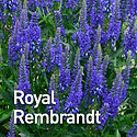 Veronica Royal Rembrandt - Spike Speedwe